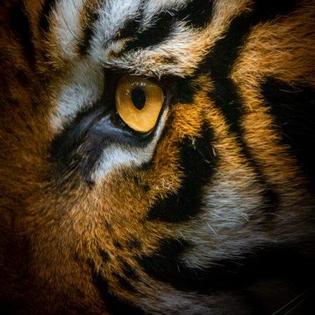 photo-1573476492143-70270ca42661 tiger
